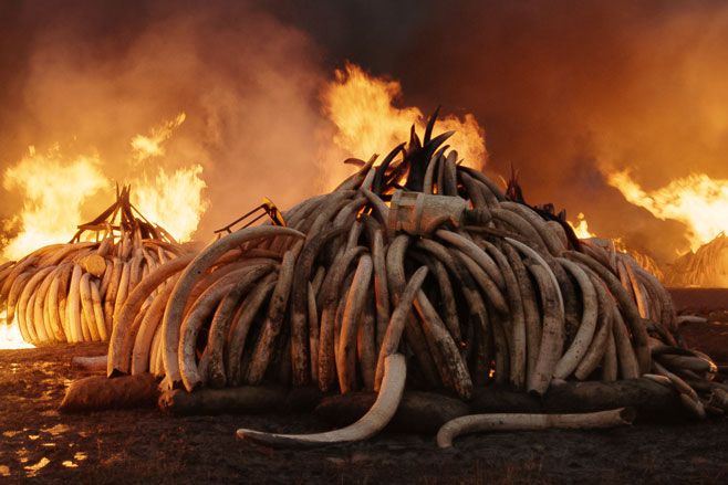 Elephant Tusk Burn, Nairobi National Park, Kenya, Courtesy of Anthropocene Films Inc. © 2018